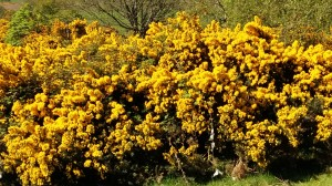 Gorse on Conic Hill